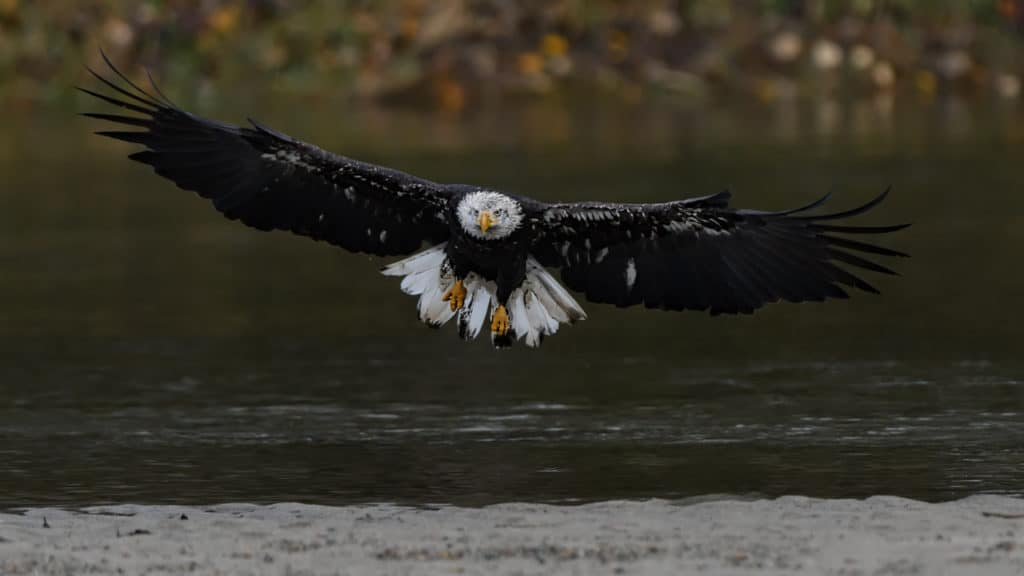 Bald Eagle landing on the Fraser River British Columbia - BC Bird Photo Workshop