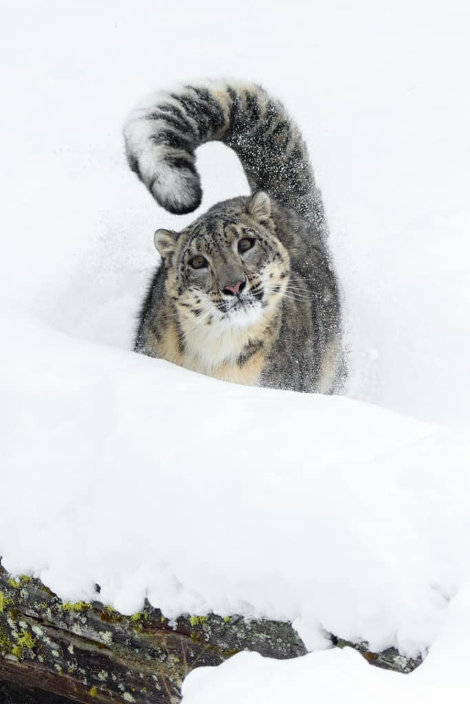 Snow Leopard in a snow bank. Learn how to photograph in the snow