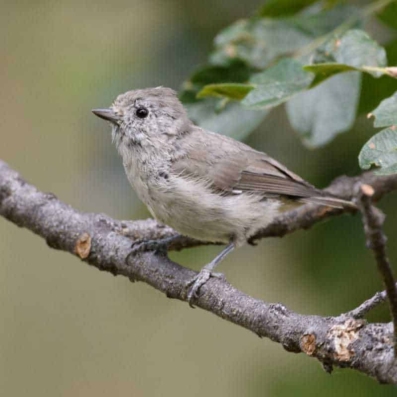 Oak Titmouse, Baeolophus inornatus in Jeff Wendorff's Bird Photography Portfolio