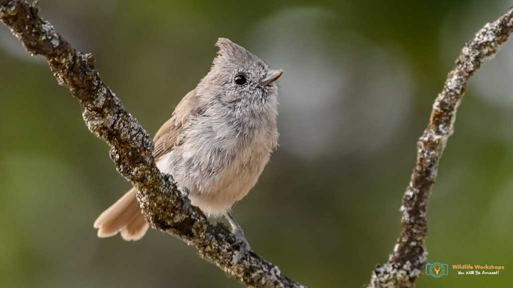 This Oak Titmouse is the newest bird in Jeff Wendorff's bird photography portfolio.