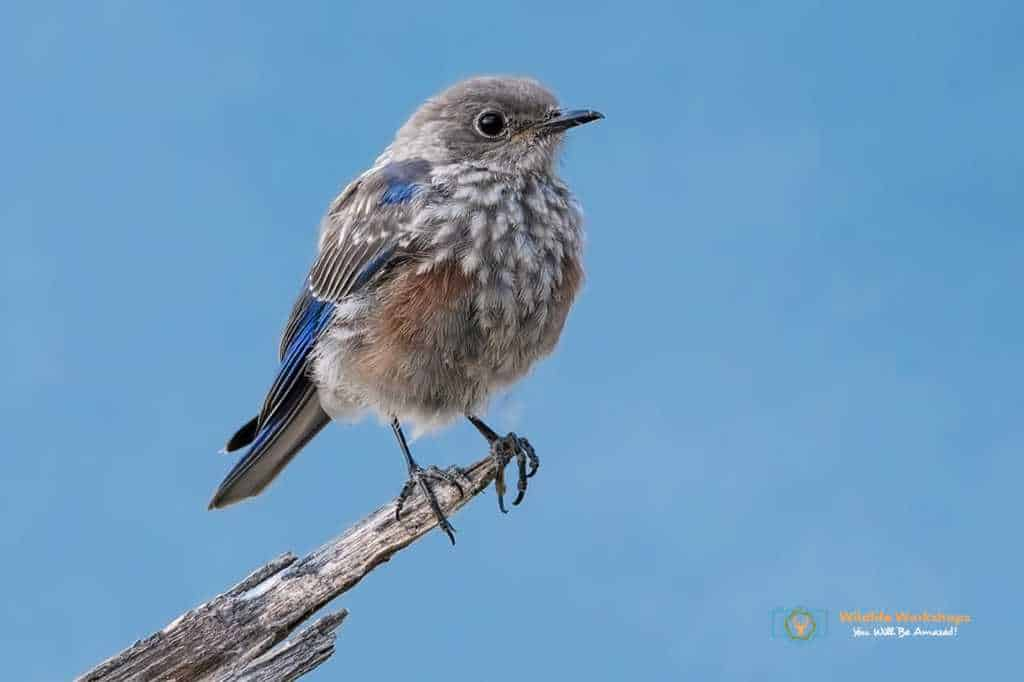 Western Bluebird Juvenile perched over a lake in California photographed By Jeff Wendorff