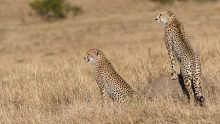 cheetahs hunting kenya