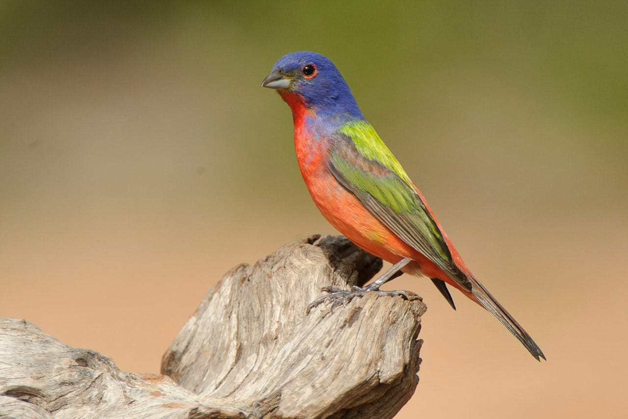 Painted Bunting posing for photographers, Texas Bird Photography Workshop