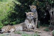 Cheetah family Best Kenya Photo Safari