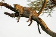Leoaprd Tree Best Kenya Photo Safari