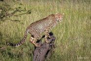 hunting cheetah best Kenya Photo Safari