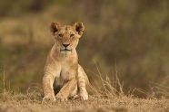 young lion kenya photo safari