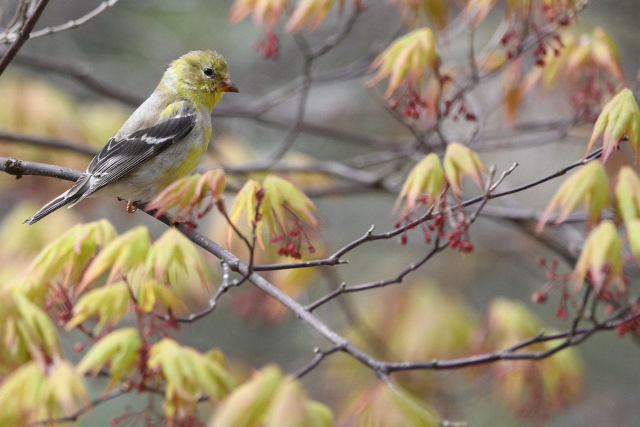 American Goldfinch Jeff Wendorff