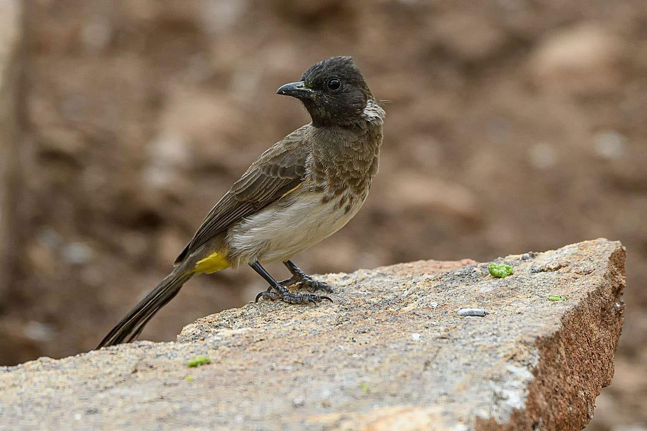 Common Bulbul Bird On A Rock