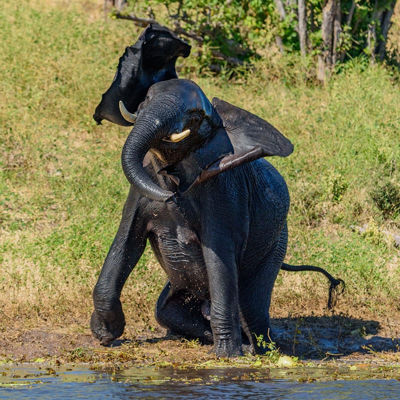 Elelphant playing in mud Jeff Wendorff