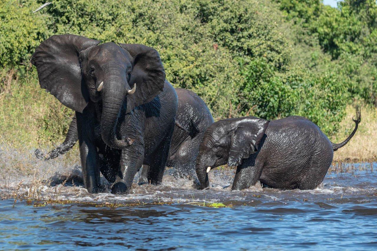 Elepant family chobe river Jeff Wendorff