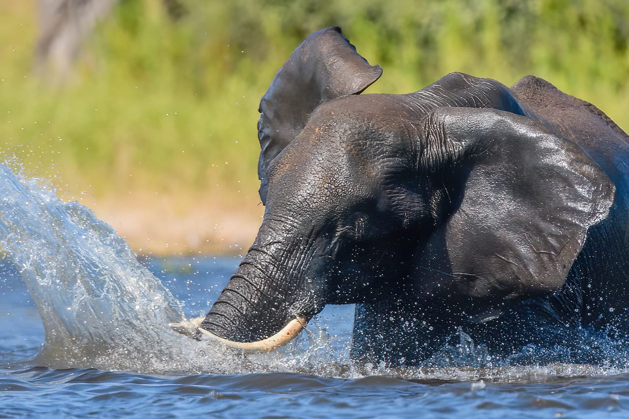 Elephant splashing Chobe River Jeff Wendorff