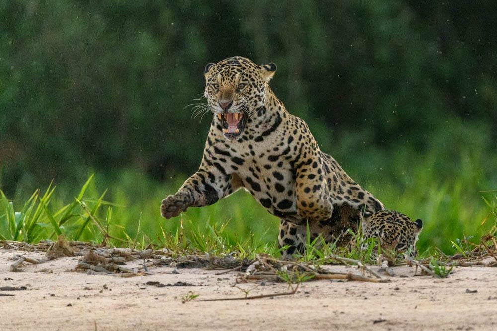 Jaguar Before DeNoise AI