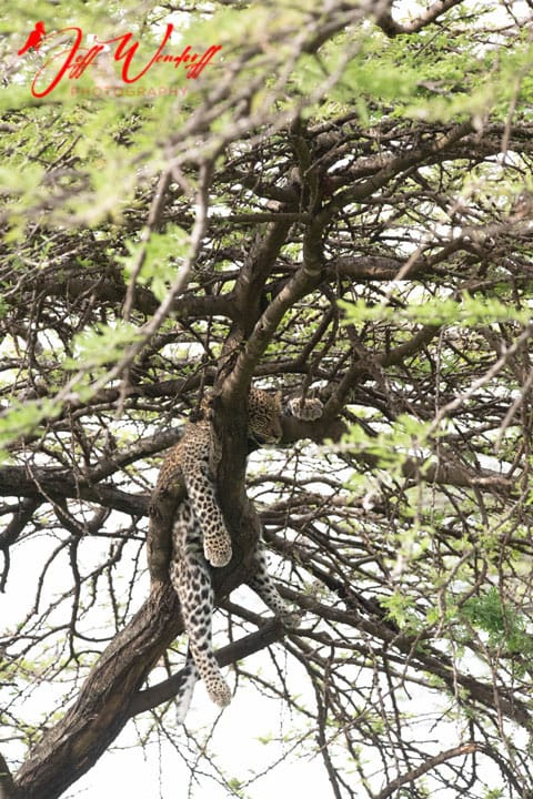 Leopard in tree Sunset Before 1