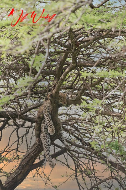Leopard in tree sunset After