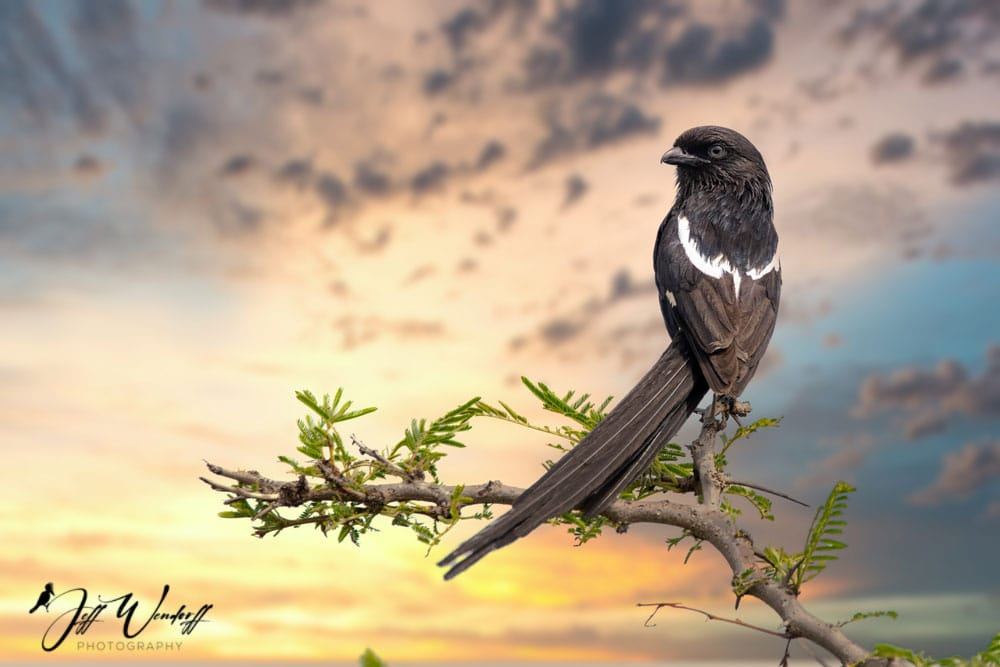 Magpie Shrike After