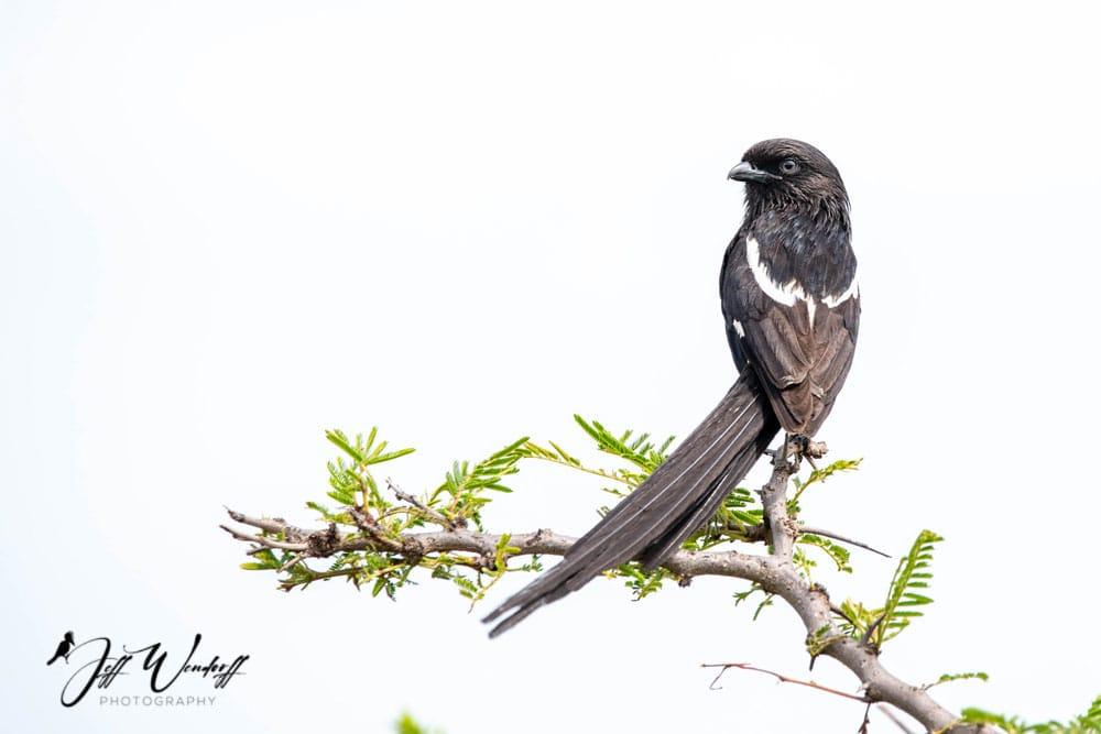 Magpie Shrike Before
