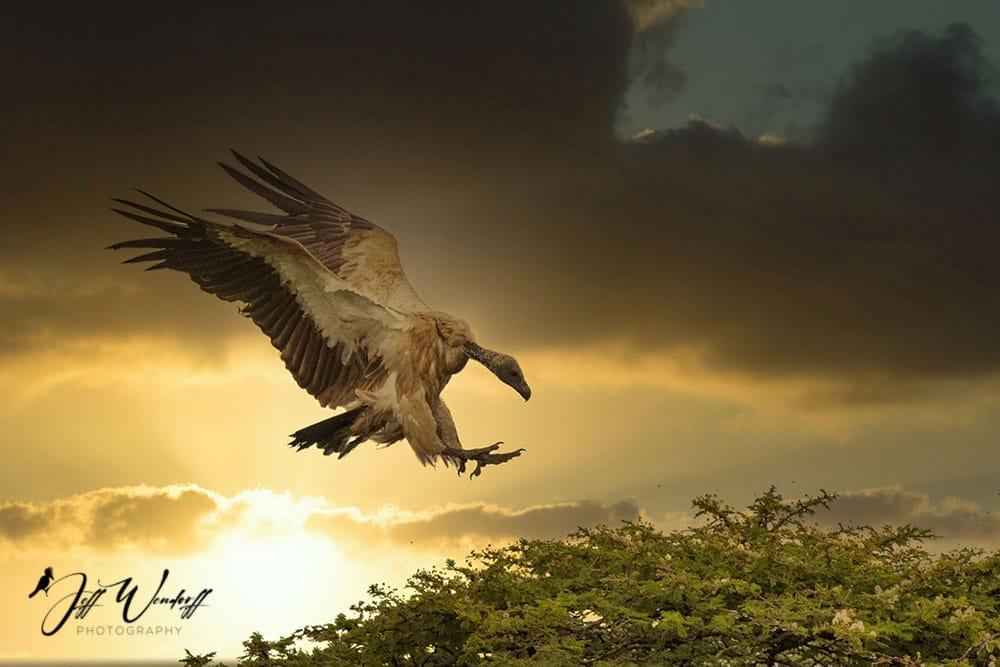 Vulture Landing Sunset After