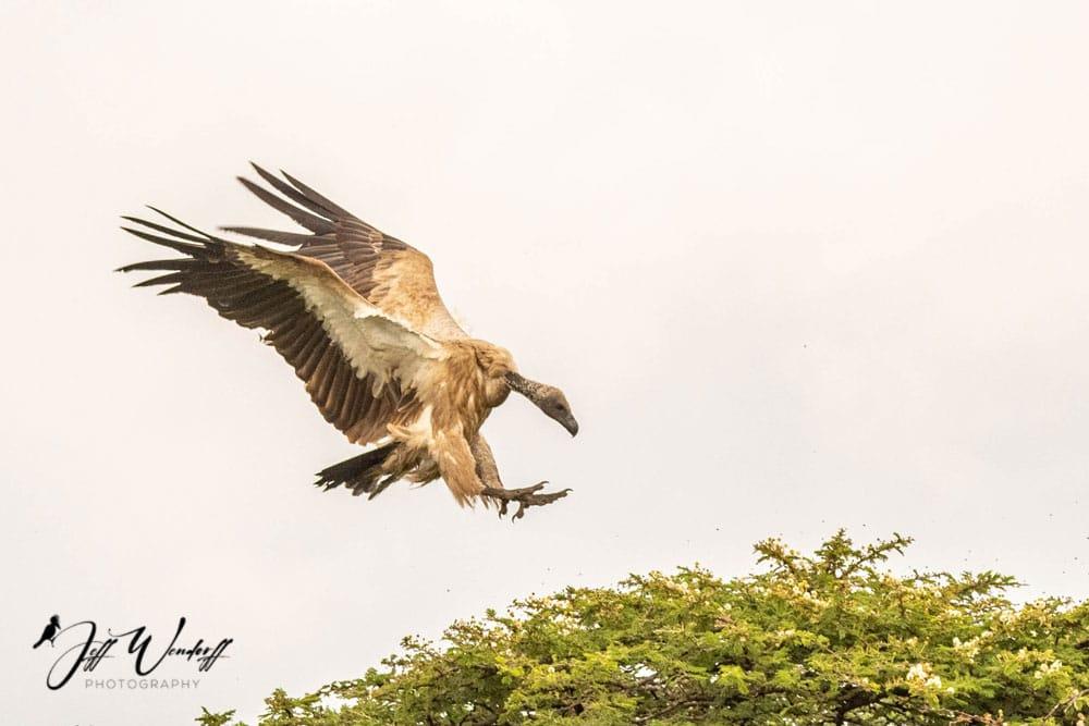 Vulture landing Sunset Before