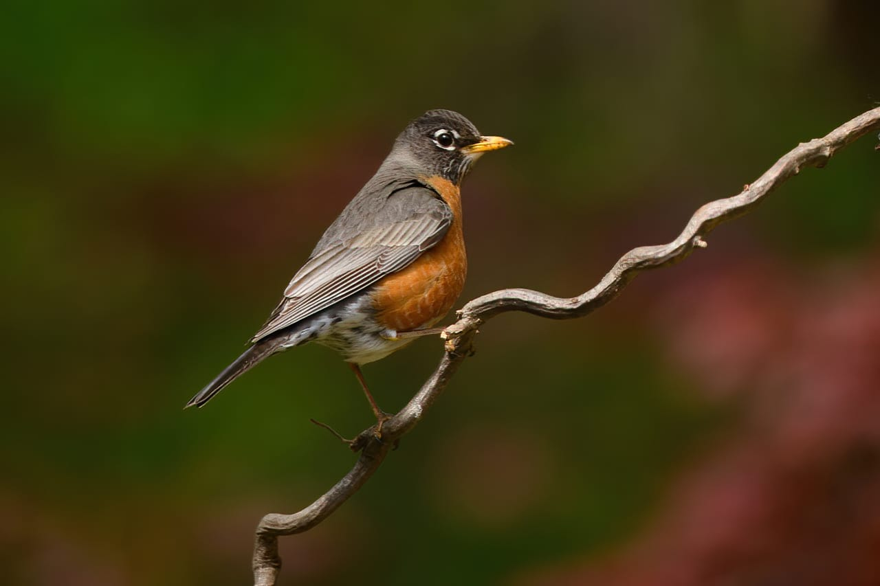 American Robin Backtard Bird Perch