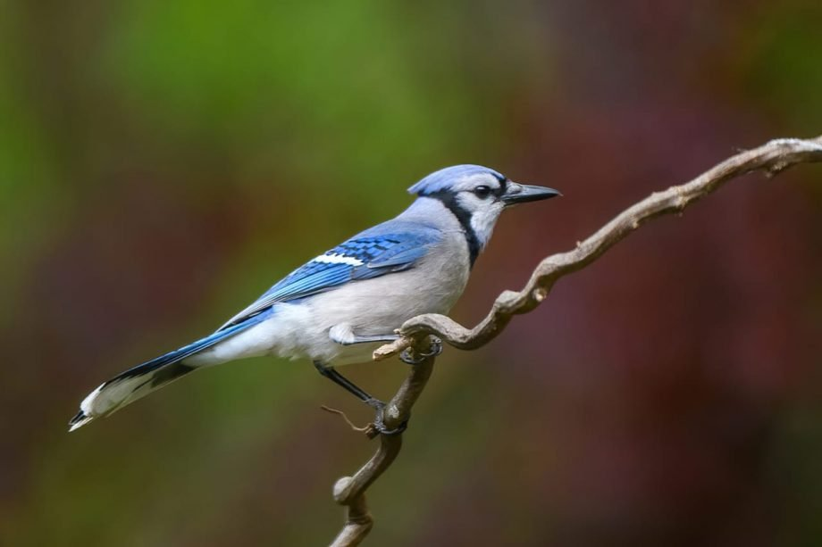 Blue Jay Backyard bird perch - Good!