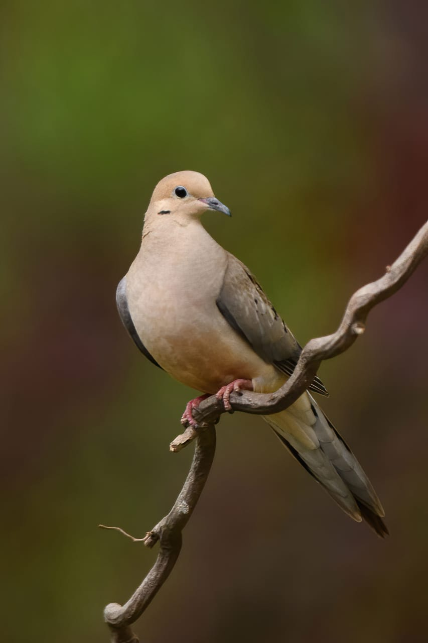 Mourning Dove Backyard Bird Perch