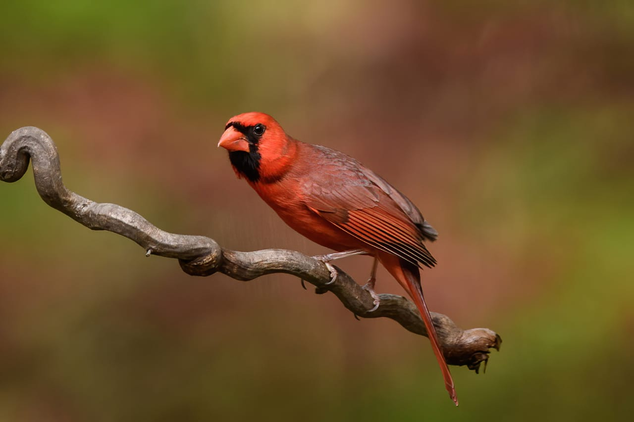 Northern Cardinal Backyard Bird Perch