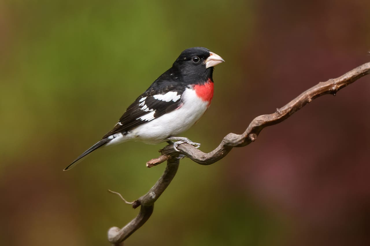 Rose Breasted Grosbeak Male Backyard Bird Perch
