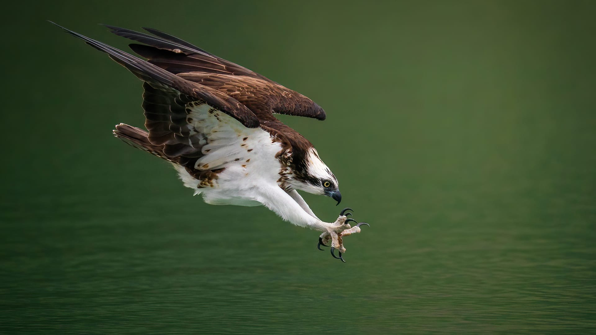 15 Osprey Facts Osprey Diving for Prey
