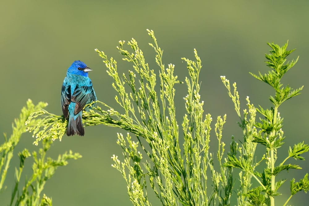 Bird Photography Columbia Bottom Indigo Bunting