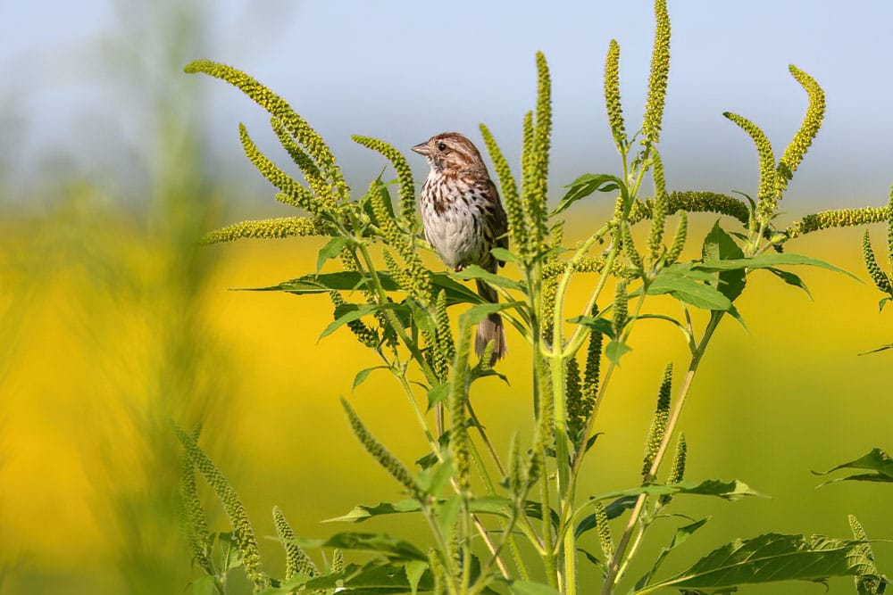 Song Sparrow Columbia Bottom