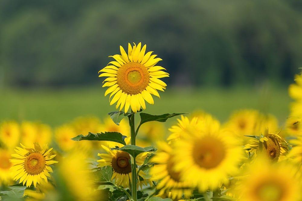 Sunflower Field Columbia Bottom