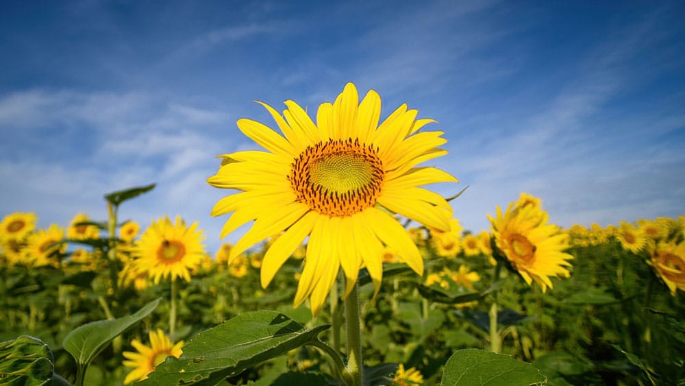 Sunflower Field Wide Angle Columbia Bottom