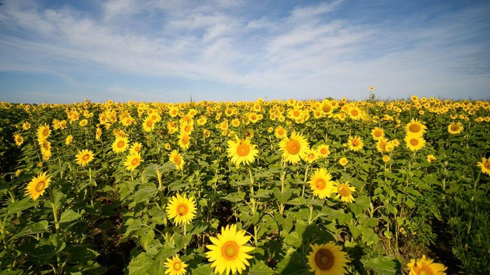 Sunflowers Columbia Bottom