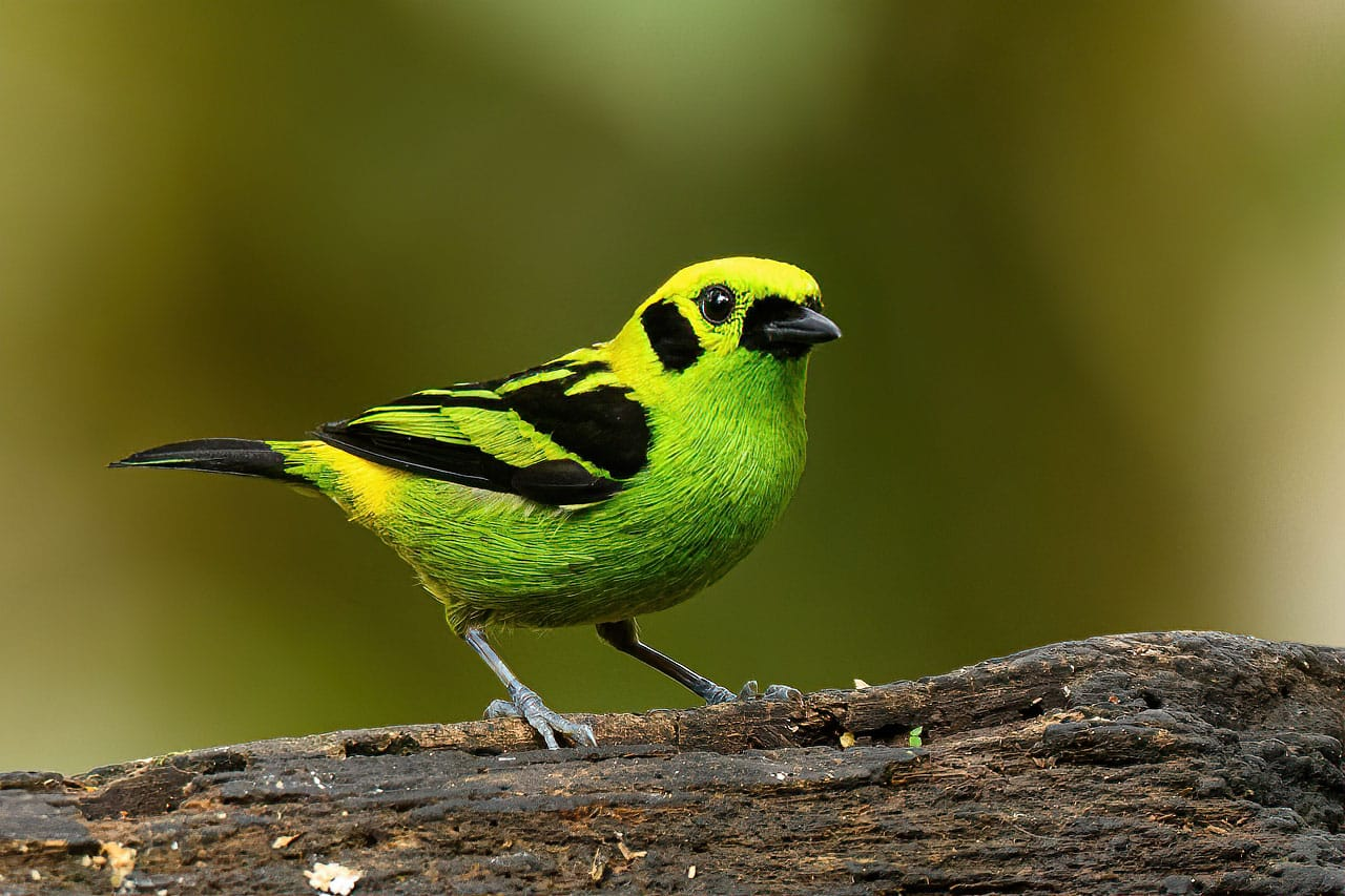 Best Bird Photography Workshops 2021 Emerald Tanager Ecuador