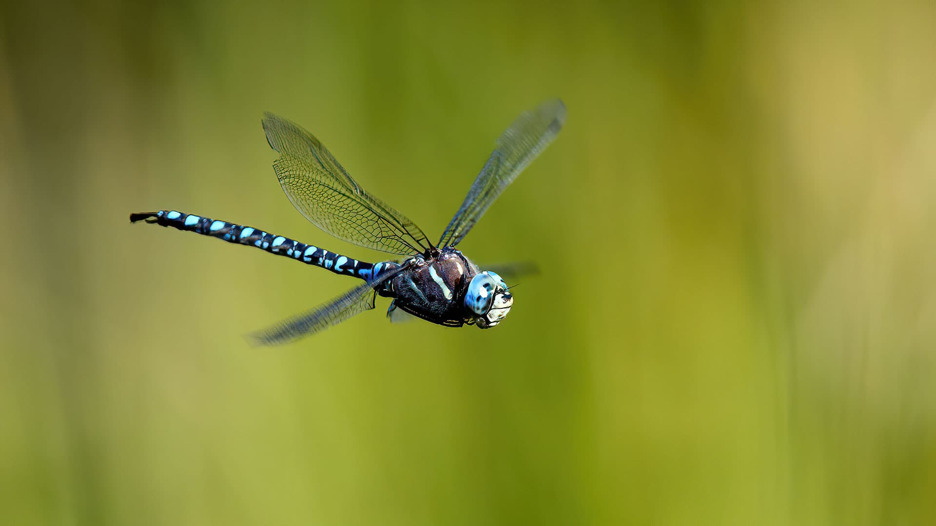 Female Blue eyed Darner Dragonfly