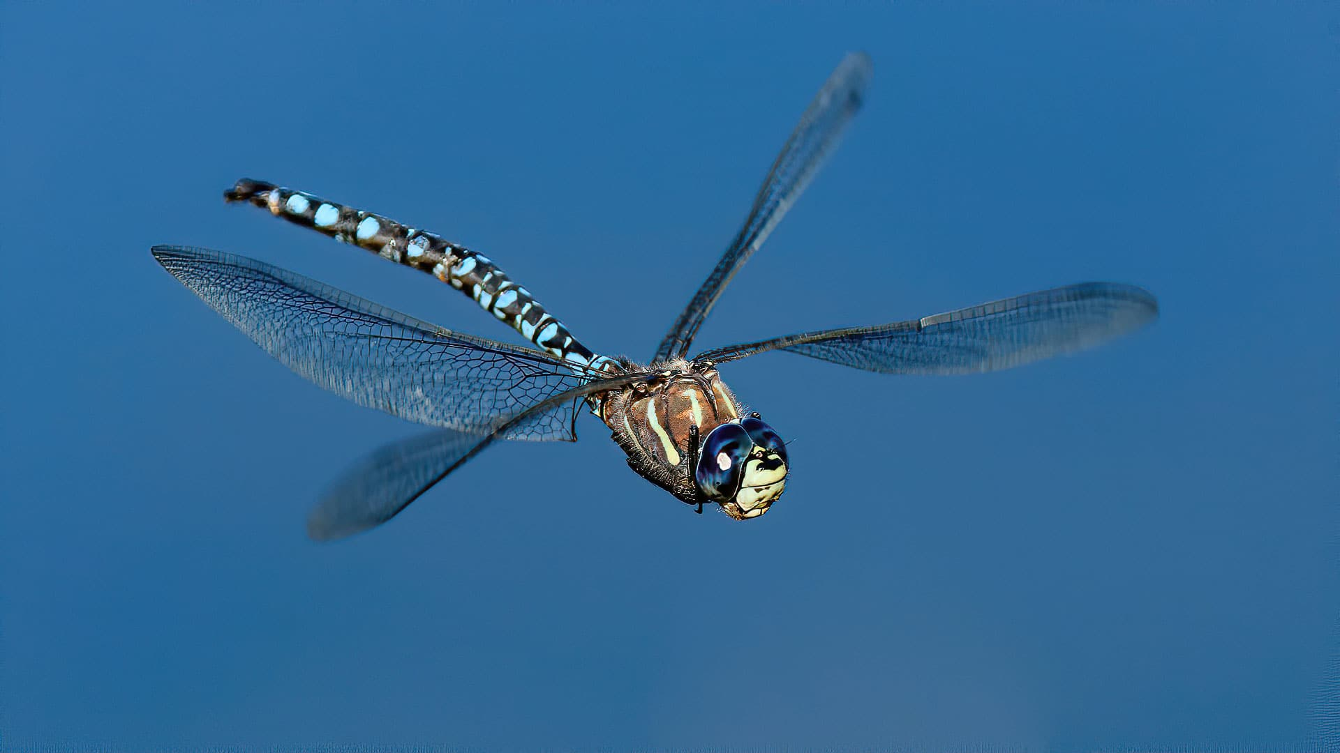 Male Blue eyed Darner Dragonfly