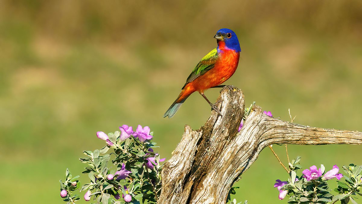 Painted Bunting Texas Bird Photography